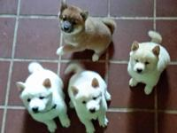 If you are interested in my Shiba puppies, I have a