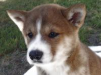 We have Shiba Inu puppies available. Shiba Inu is a