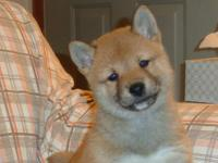Shiba Inu Puppies, two females and two males, creams