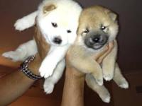 Beautiful Shiba Inu Puppies for sale we have 2 white