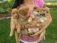 Adorable Shiba inu puppies. 3 males ($600) and one