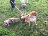 I have two litters of Shiba Inu puppies, born Sept 1st