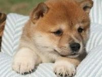 Shiba inu puppies,,only text  405  655 x