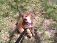 Twelve week old female shiba inu. Current on vaxes. She