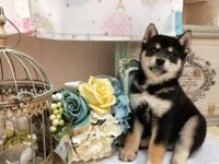 Rocky is an adorable pure-bred black and tan Shiba Inu