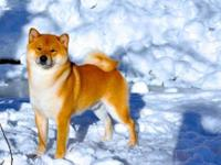 Puppies Available!!! All Icewind Shiba puppies are AKC