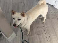 Bentley is a Cream colored male Shiba Inu. He is 6.5