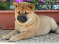 AKC Toro comes from a beautiful litter of 5. Both his