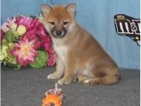 This jolly Shiba Inu is sure to amuse you with her many