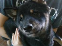 I have a full blooded shiba inu puppy that needs a