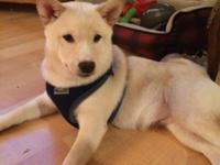 Hoping to rehome our boy Shiba Inu, Shimo! Shimo was