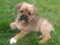 Absolute scruffy cuteness! 8 week old Shih-zu and