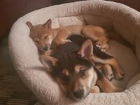 3 adorable shiba pups born on November 3rd. Very