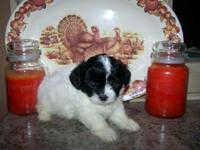 Shih chi puppy ready now last male , very quite , laid