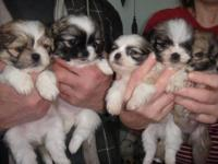 Super sweet and playful little shih tzu and bichon