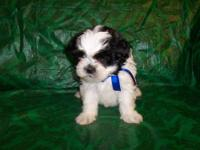 This is a little Male Shichon Puppy he is now ready to