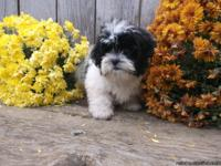 Adorable Shichon Puppies available now. Non-shed and