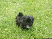 Adorable Shichon Puppies-(Teddybear)Solid