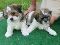 We have two 8 week old male Teddy Bear puppies that are