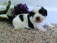Beautiful little Layla is white with black markings!