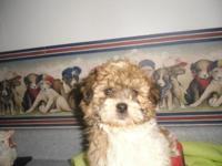 """Shichon"" puppy male, very first generation. Prepared"