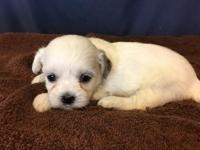 Roxy is an adorable little Shichon, or Teddy bear as