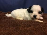 Riley is an adorable little Shichon, or Teddy Bear as