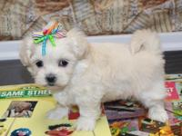 Meet our Shih Tzu/Coton de Tulear cross puppies! One of