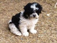 We have 5 beautiful black & white Shichon puppies, 3