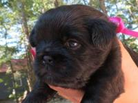 3 super charming shiffon pups for sale. One female and