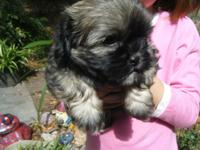 ADORABLE BABIES- CKC signed up, Small Designer Breed, 1