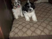 Beautiful Shih Chon puppies, mama is 7 pound. AKC Shih