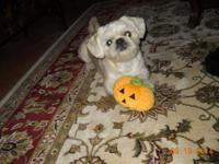 Shih-Peke - Regal Little Prince The Shinese is a