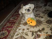 Shih-Peke - Regal Little Prince. The Shinese is a