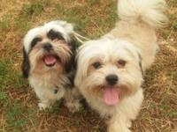 We have a pair of Shih-Poms. The Shih-Pom is a hybrid