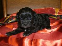 This baby is very cute she has papers CKC and is raised