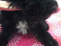 Beautiful Shih-poo puppies for sale. Mother is akc