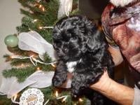 Charming eight week old male Shihpoo for adoption. He