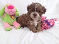 We have a handsome male and fimale Shih-Poo puppies