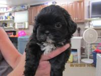 I have 3 male Shih-poo, born on May 3rd, 2015. they are