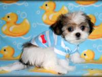 Shih-poo male, Baby doll face male, parti color fawn on