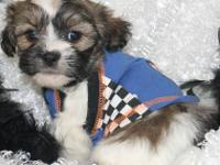 I have 2 shih poo lil boy puppies. They have small lil