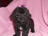 Shih Poo's the cutest and sweetest ever !!! They will