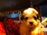 One little brown and white Shih poo female puppy ready