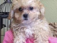 This is Mya and she is an eight week old Shih Poo.