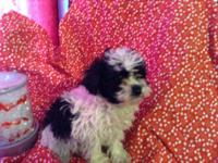 One female shih-tzu poodle puppy for sale. 8 weeks old.