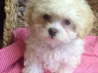 This is Jack and he is an eight week old male Shih Poo.