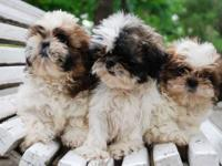 The mother should be having them anyday, she is a shih