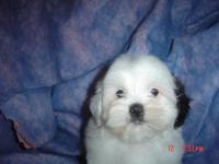 Beautiful Shih-Poo Puppies, dual covered non-shedding,