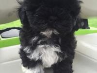 9 week old Shih-poo puppies for sale. 2 males & 3